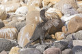 Flightless cormorant in the galapagos islands on isabela island Stock Images