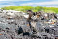 Flightless cormorant in galapagos standing on a barren island the islands ecuador Stock Images
