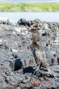 Flightless cormorant on isabela island in the galapagos islands Stock Image