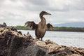 Flightless cormorant opening its tiny wings. Royalty Free Stock Photo