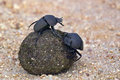 Flightless dung beetle circellium bacchus in kruger national park south africa Stock Photography
