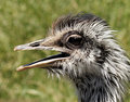 A Flightless Rhea, Native to South America Stock Photos