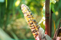 Flint corn Royalty Free Stock Photo