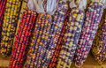 Flint corn closeup of ears of mature indian also called or calico Royalty Free Stock Photos