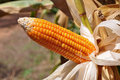 Flint corn mature without husk Royalty Free Stock Image