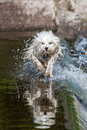 Flipped through the water a wet long hair dog runs while sprays and dog is reflected in Stock Photos