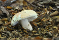 The Flirt fungus - Russula vesca Stock Photography