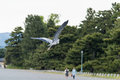Fliying stork in stone garden a japanese with rocks pond and bird maruyama park kyoto browse my japanese landmarks collection Royalty Free Stock Photos