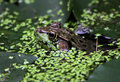 Floating Bullfrog Royalty Free Stock Photo