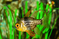 Floating cardinal fish in auarium Royalty Free Stock Image