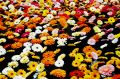 Floating Gerberas Royalty Free Stock Images
