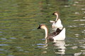 Floating goose Royalty Free Stock Photo