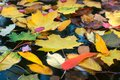 Fallen colorful leaves surface on the water in the autumn season. Royalty Free Stock Photo