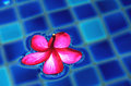 Floating petal closeup of tropical flower in swimming pool Stock Photo