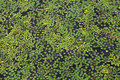Floating plants in a pond water surface covered with duckweed Stock Photo