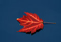 Floating red maple leaf on water a close up of a still blue Stock Photos