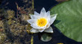 Floating water lily flower with small bugs and large green leaf aside in dark dirty swamp