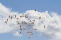 Flock of Australian Great Egret birds Royalty Free Stock Photo