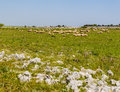 Flock a beautiful rural landscape with some rocks south of italy apulia Stock Photos