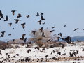 Flock of birds close up rook and jackdaw Royalty Free Stock Images