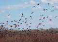 Flock of birds common starling sturnus vulgaris Royalty Free Stock Photos
