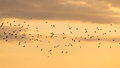 A flock of birds at dawn, the sun Royalty Free Stock Photo