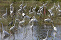 Flock of birds different types wading great blue heron ardea herodias great egret ardea alba and wood stork mycteria americana Stock Images