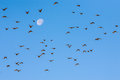 Flock of birds flying against moon photo presents several dozen in blue sky in background Stock Photo