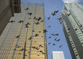 Flock of birds flying in a city low angle view with skyscraper buildings the background Stock Images