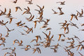FLOCK OF BIRDS FLYING AT DAWN Royalty Free Stock Photo