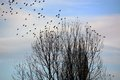 Flock of Birds Leaving Tree Royalty Free Stock Photo