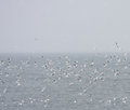 Flock of black headed gulls at sea in skjalfandi bay iceland aka chroicocephalus ridibundus Stock Photos