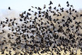 Flock of Blackbirds Flying Royalty Free Stock Photo