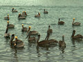Flock of brown pelicans on the gulf of california near mulege mexico a float in water town in state baja sur Stock Photo