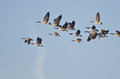 Flock of canada geese flying in blue sky high Stock Photos