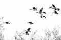 Flock of Canada Geese Flying on a White Background Royalty Free Stock Photo