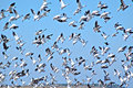 Flock of Canadian Geese Taking Flight Royalty Free Stock Photo