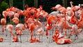 Flock of Carribean flamingoes Royalty Free Stock Photo