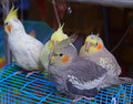 A flock of cockatiel birds for sale at bird garden hong kong they are small grey parrots with dainty crest and distinct orange Royalty Free Stock Photos