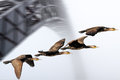 Flock of cormorant in flight near an old iron bridge photo composition Stock Images