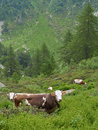 Flock of cows in the alps with horns italian valle loana Royalty Free Stock Image