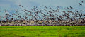 Flock of cranes taking off in the field israel photo taken on dec Stock Photos