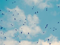 Flock of crows in a sky in autumn Royalty Free Stock Photography