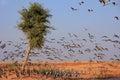 Flock of demoiselle crains near khichan village india rajasthan Stock Photography