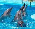 A flock of dolphins in clear blue water Stock Photos