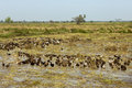 Flock of domestic ducks wading through a harvested rice field cambodia Royalty Free Stock Photos