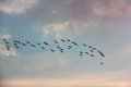 A flock of ducks flying in the sky at sunset they come from south Royalty Free Stock Image