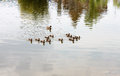 Flock of ducks mother duck with her little ducklings swimming in the lake Stock Photo