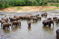 Flock of elefants are bathing in the river Royalty Free Stock Image