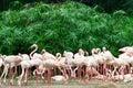 Flock of Flamingos Stock Image